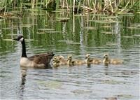 Image of a mother goose swimming with her goslings