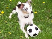 Image of an aussie dog sitting with a soccer ball
